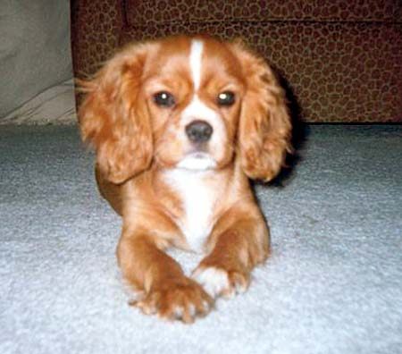 Remy the Cavalier King Charles Spaniel Pictures 269