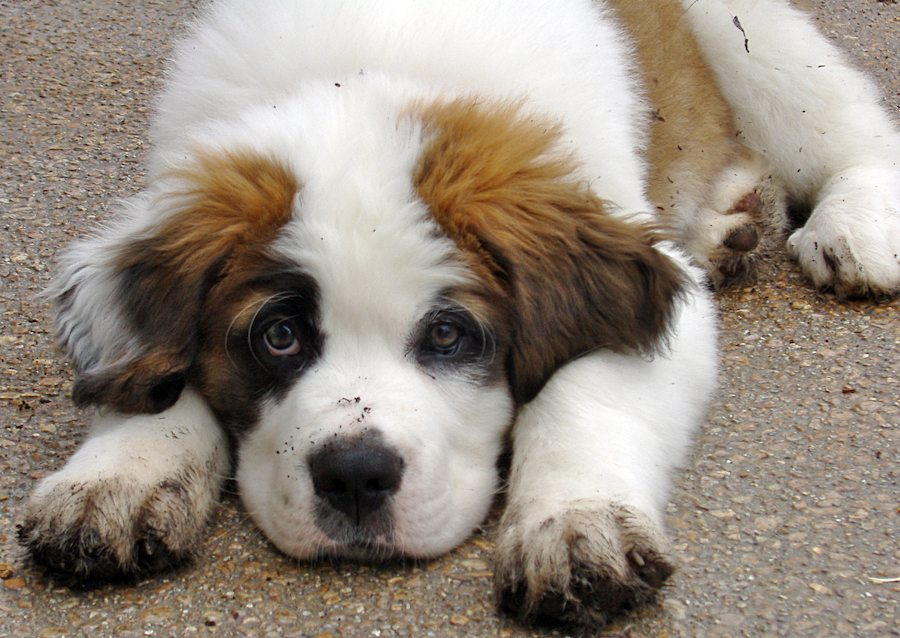 Reuben the Saint Bernard Pictures 6104