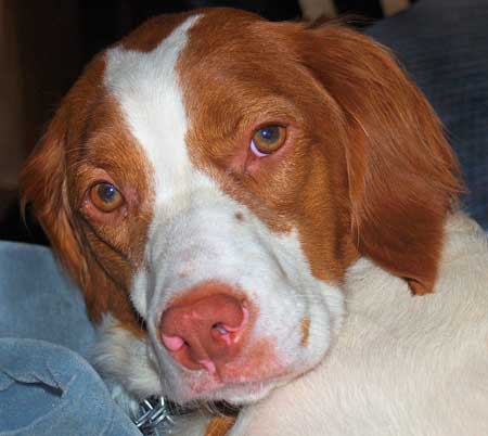 Ripley the Brittany Spaniel Pictures 9223