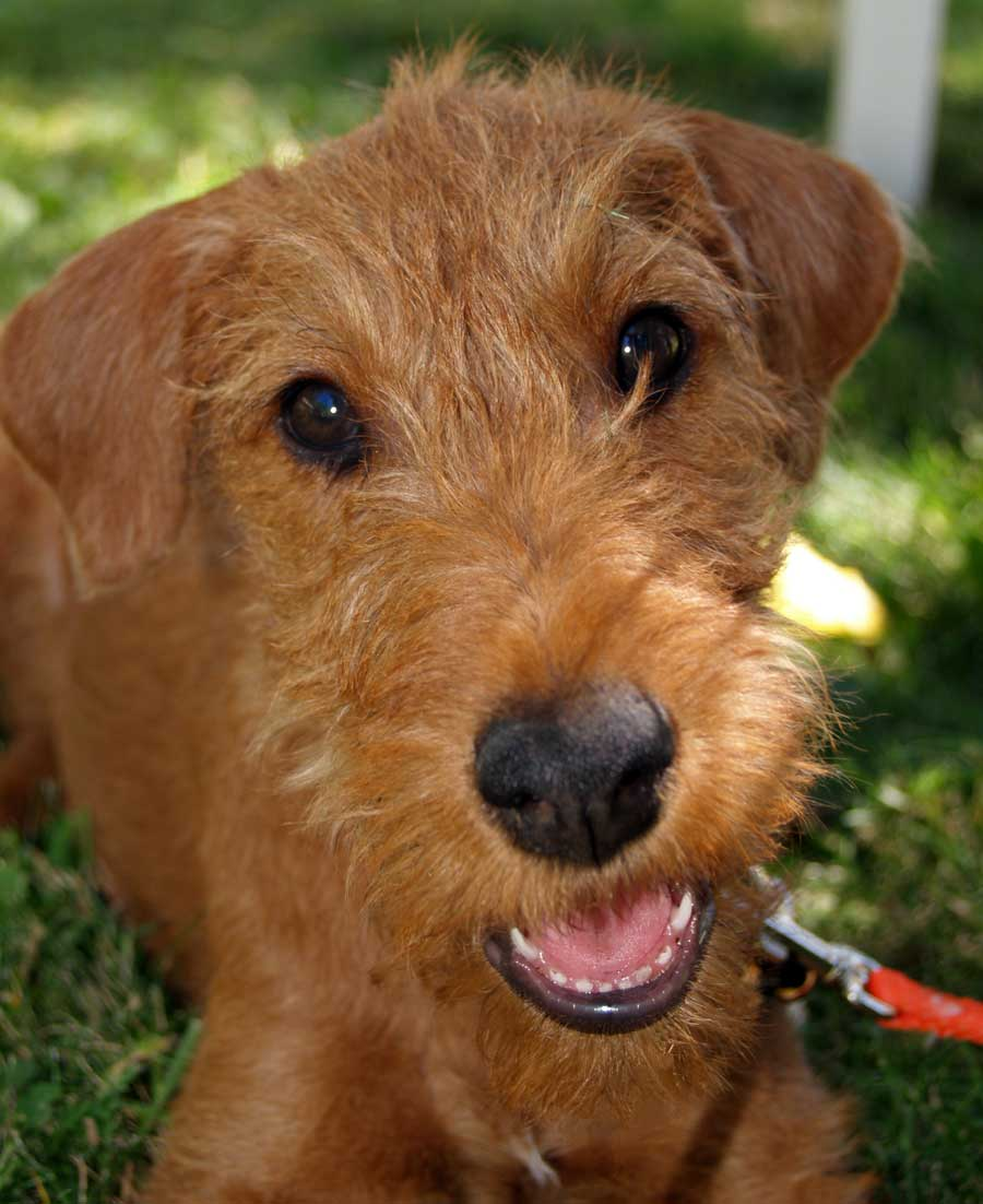 Rooster the Irish Terrier Pictures 9012