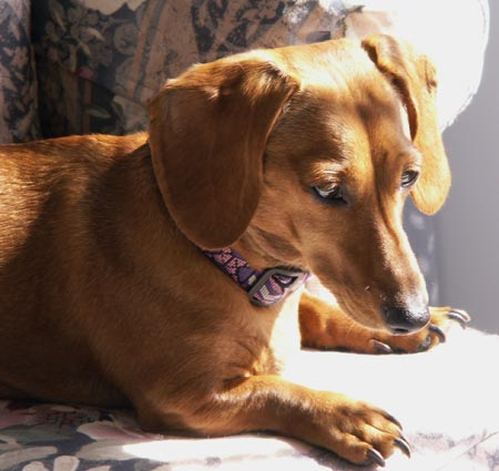 Rosie the Miniature Dachshund Pictures 3462