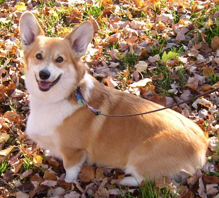 Ross the Pembroke Corgi Pictures 3392
