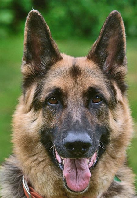 Ruffy the German Shepherd Pictures 7532