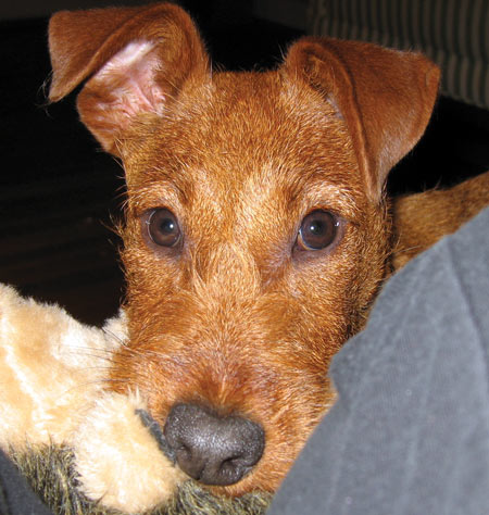 Rufus the Irish Terrier Pictures 5443
