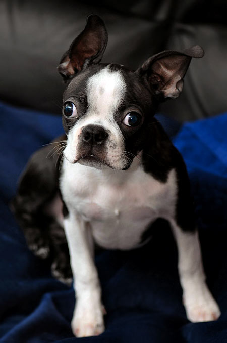 Sam the Boston Terrier Pictures 4228