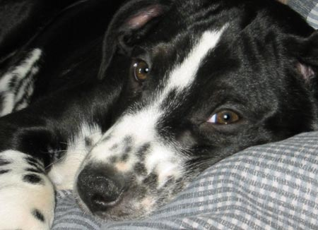 Sam the Dalmatian/Border Collie Mix Pictures 2728