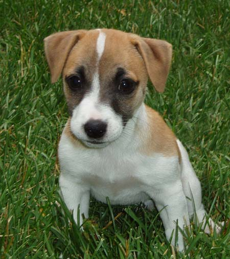 Sam the Jack Russell Terrier Pictures 2662