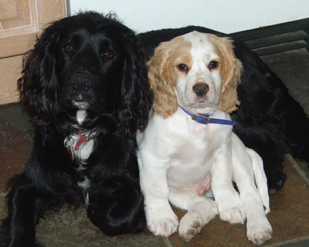 Sam and Merry the Cocker Spaniels Pictures 3374