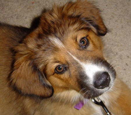 Sasha the Australian Shepherd Mix Pictures 5670