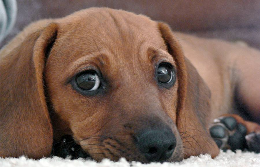 Savvee the Beagle / Dachshund Mix Pictures 7904