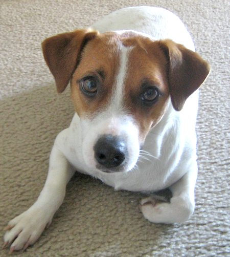 Schubert the Jack Russell Terrier Pictures 8153
