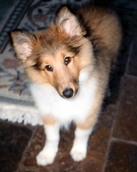 Shep the Sheltie Pictures 240
