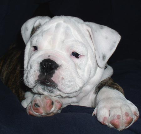 Spike the English Bulldog Pictures 3084