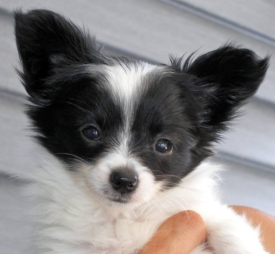 Surprise the Papillon Pictures 8581