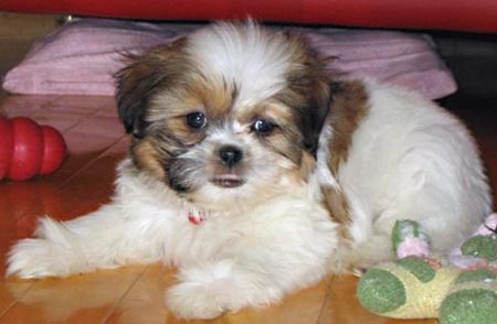 Tashu the Bichon Frise/Shih Tzu Mix Pictures 3813