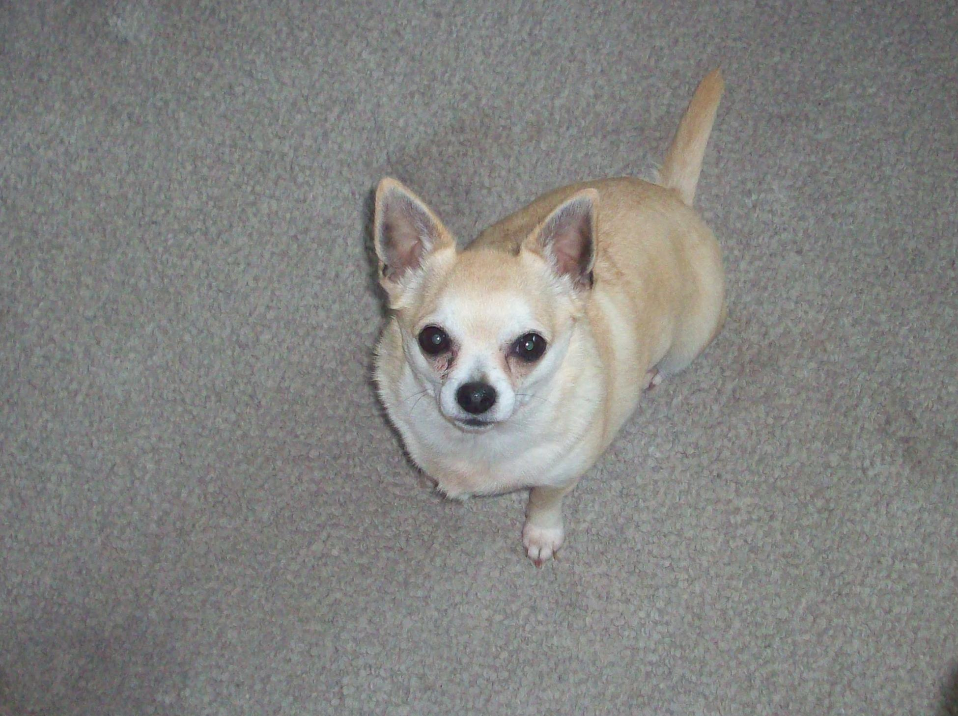 Taz the Chihuahua Pictures 205
