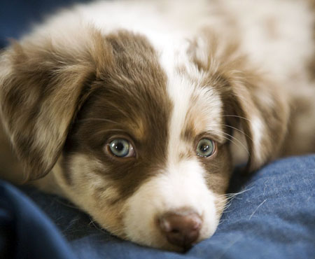Teddy the Australian Shepherd Pictures 3983