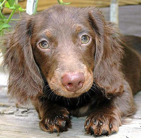 Teddy* the Dachshund Pictures 8228