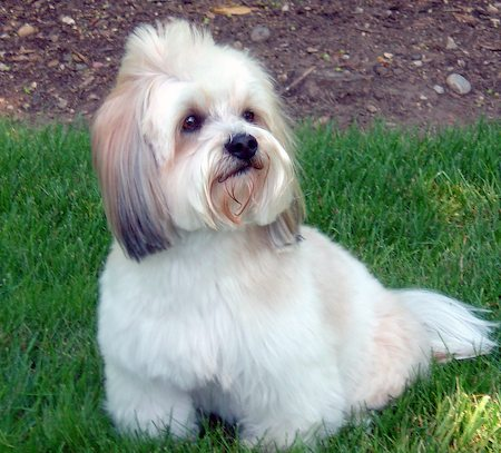 Teddy the Lhasa Apso / Terrier Mix Pictures 7057