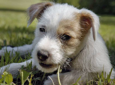 Teddy the Parson Russell Terrier Pictures 10600