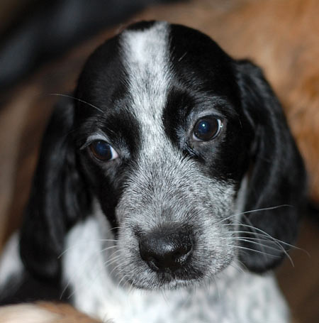 Tetris the Spaniel Puppy Pictures 5378