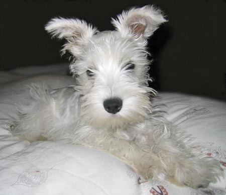 The Cuteness, a Miniature Schnauzer Pictures 2071