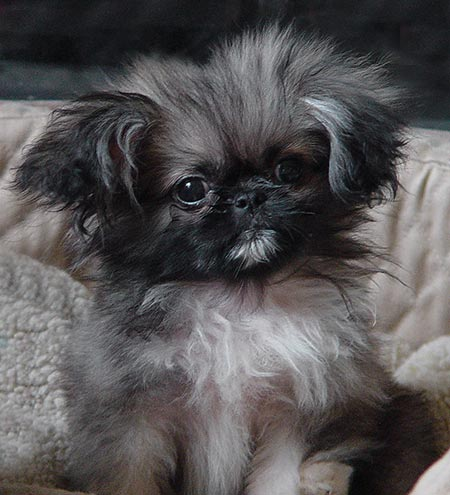 Tic Tac the Pekingese Pictures 4573
