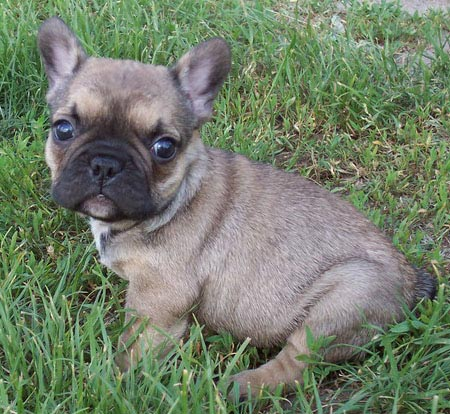 Titan the French Bulldog Pictures 3574