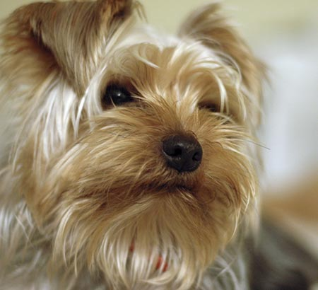 Tucker the Yorkshire Terrier Pictures 3303