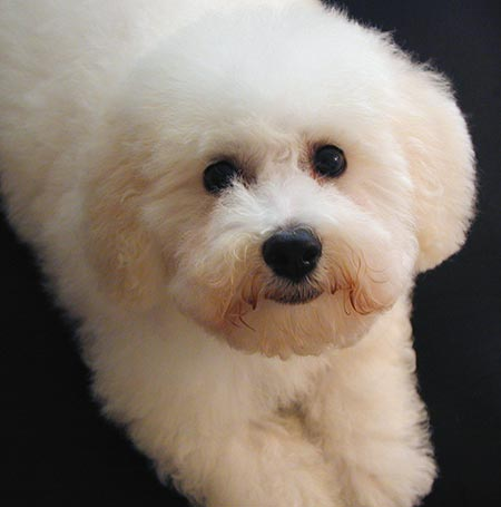 Waiskai the Bichon Frise Pictures 3262