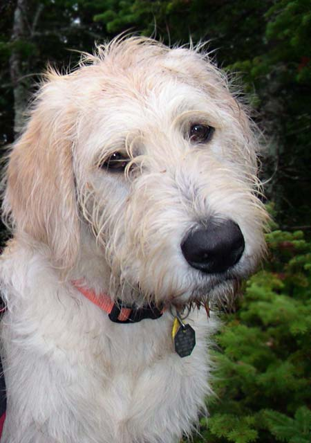 Willy the Labradoodle Pictures 2857