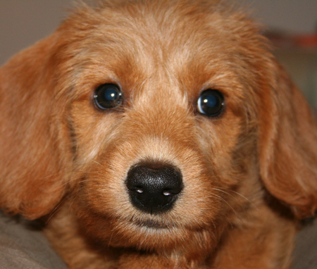 Willy the Labradoodle Pictures 11540