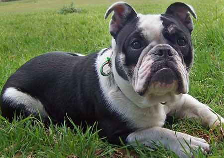 Xeba the Australian Bulldog Pictures 9843