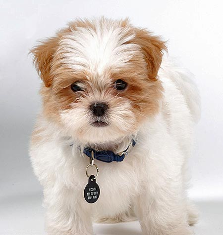 Yoshi the Shih Tzu/Maltese Mix Pictures 1261