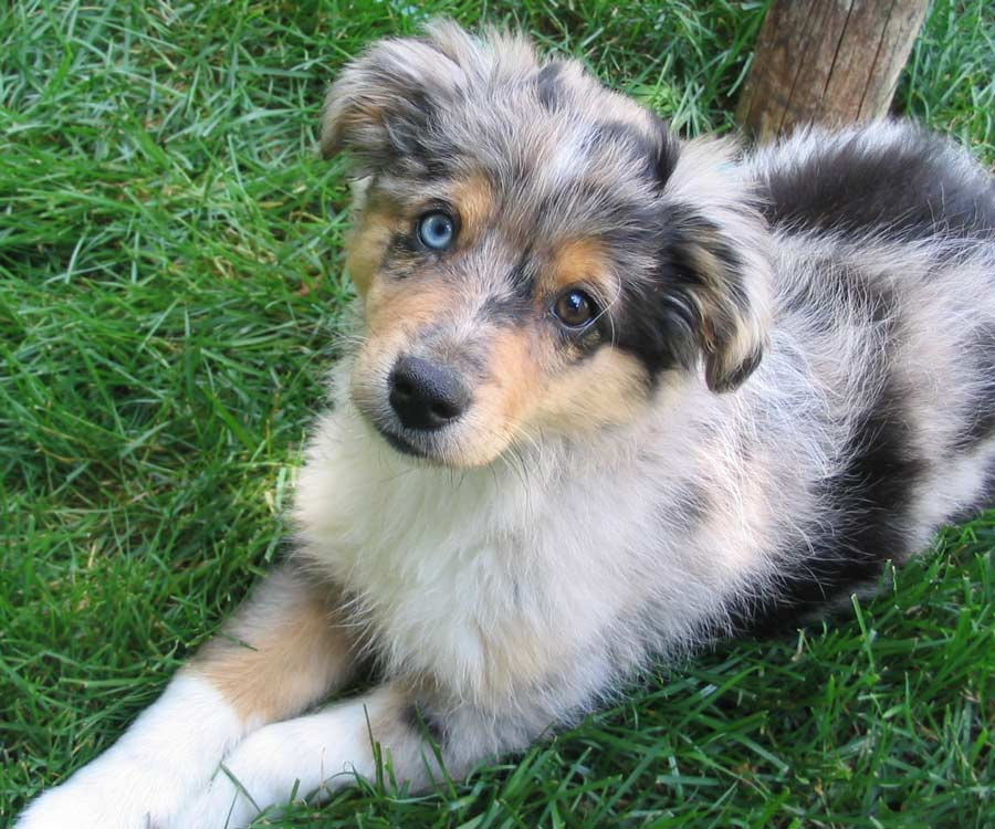 Zoe the Mini Australian Shepherd Pictures 5901