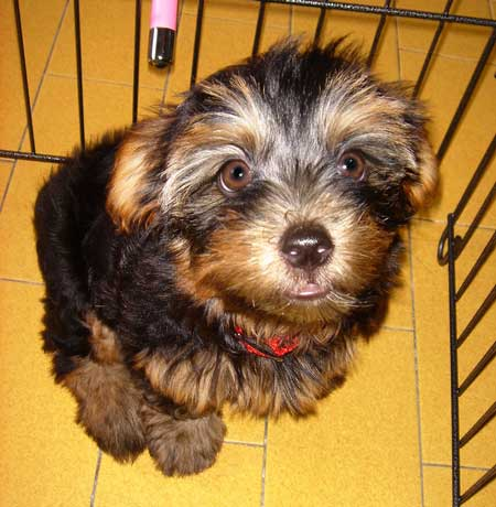 Zoe the Silky Terrier Pictures 1577