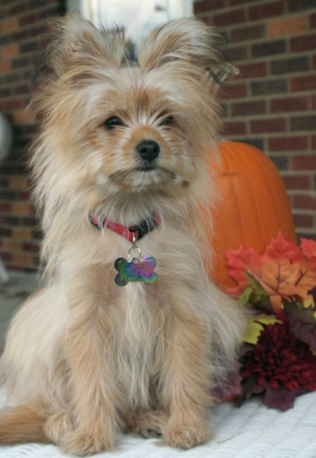 Zoe* the Yorkie/Pomeranian Mix Pictures 2977