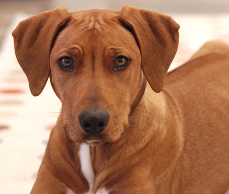 Zulu the Rhodesian Ridgeback Pictures 4309